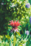 Monarda didyma (Scarlet beebalm) Stock Photo