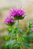Monarda fistulosa flower Stock Images