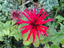 Monarda flower on green background with grass and lefts in summer day stock photo