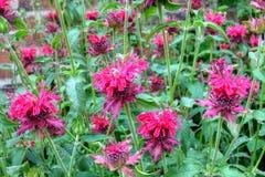 Monarda flowers. Monarda hybrida scarlet (bea balm) in a garden Royalty Free Stock Photos