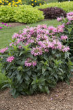 Monarda - Pardon My Pink. Pink flowered plant - Monarda - Pardon My Pink Royalty Free Stock Photography