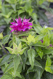 Monarda - Pardon my Purple. Pink flower of monarda - Pardon my Purple Stock Photos
