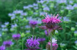 Monarda or wild bergamot. Single bee balm flower against a darker background.  stock photos