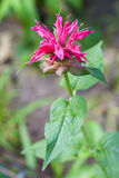 The Monarda (Monarda didyma) flower Stock Image