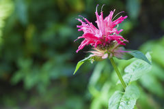 The Monarda (Monarda didyma) flower closeup Stock Image