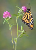 Monarh sipping nectar. A monarch butterfly is sipping nectar on clover stock images