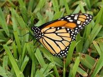 Monark Butterflu som poserar i gräs royaltyfria foton
