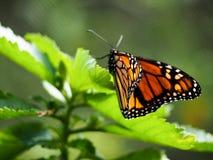 Monark Butterly på bladet Royaltyfri Bild