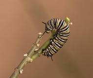 Monark Caterpillar på en fatta royaltyfri bild