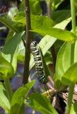 Monark Caterpillar som äter Milkweedväxten royaltyfri fotografi
