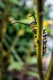 Monark Caterpillar som matar 4 royaltyfri fotografi