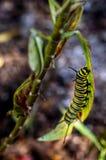 Monark Caterpillar som matar 5 royaltyfria foton