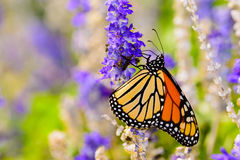 Monark & x28; Danausplexippus& x29; annalkande nektar från den lilla violeten fl fotografering för bildbyråer