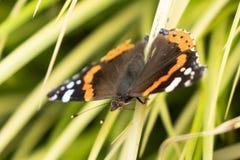 Monark Danausplexippus, fjäril i naturlivsmiljö arkivfoton