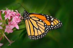 Monark Danausplexippus, fjäril i naturlivsmiljö Trevligt kryp från Mexico Fjäril i det gröna skogfjärilssammanträdet fotografering för bildbyråer