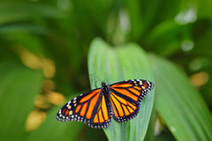 Monark Danausplexippus, fjäril i naturlivsmiljö Trevligt kryp från Mexico Fjäril i det gröna skogfjärilssammanträdet arkivbilder