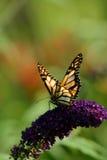 monark för 2 fjäril Royaltyfria Bilder