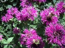 monark för blomningväxt med rosa kronblad arkivfoton
