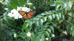 monark för 2 fjäril arkivfoto