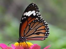 Monark härlig färgrik fjäril i trädgårdbakgrunder royaltyfri fotografi