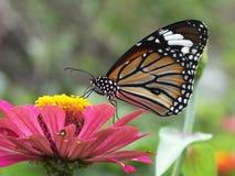 Monark härlig färgrik fjärilsbakgrund royaltyfria foton