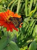 Monark i blom royaltyfri fotografi