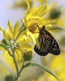 Monark och solrosor i ängen Arkivfoto