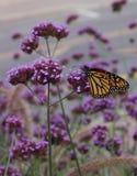 Monark på blomma arkivbild