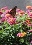 Monark på blomma arkivfoto