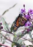 Monark på blommor royaltyfri bild
