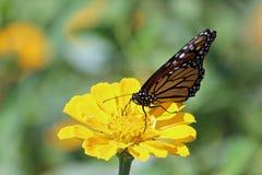 Monark på en Zinnia arkivfoto