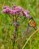 Monark på Joe Pye Weed blomma 3 arkivfoton