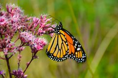 Monark på Joe Pye Weed blomma 7 arkivbild