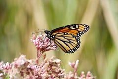 Monark på Milkweed arkivbilder