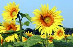Monark på solrosen royaltyfri foto