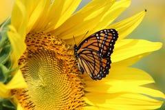 Monark på solrosen royaltyfria bilder