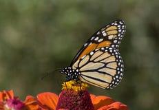 Monark på Zinnia Royaltyfri Fotografi