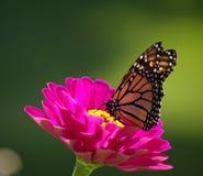 Monark på Zinnia arkivfoton