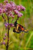 Monark som centreras på Joe Pye Weed royaltyfria foton
