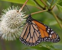 Monark som nectaring på en Buttonbush blomma royaltyfri bild