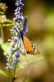 Monarkbutterflys på de blåa fowersna Mexico Valle de Bravo Royaltyfri Bild