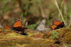 Monarkbutterflys på jordMexico Valle de Bravo Royaltyfri Foto