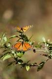 Monarkbutterflys tar solen Mexico Valle de Bravo Fotografering för Bildbyråer