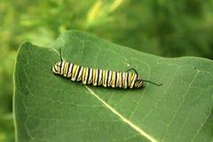 Monarken Caterpillar mjölkar på ogräsväxten Arkivbild