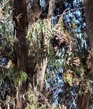 Monarker av den Pismo stranden, Kalifornien arkivfoto