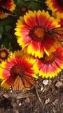 Monarker på blommor royaltyfri foto