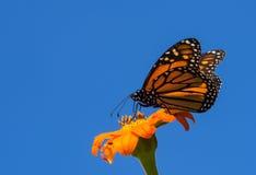 Monarkfjäril över blå himmel Arkivfoton