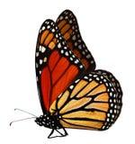 Monarkfjäril Royaltyfri Bild