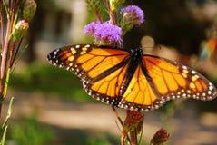 Monarkfjäril royaltyfri foto