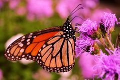 Monarkfjäril arkivbilder